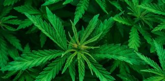 Marijuana proibizionismo narcotraffico