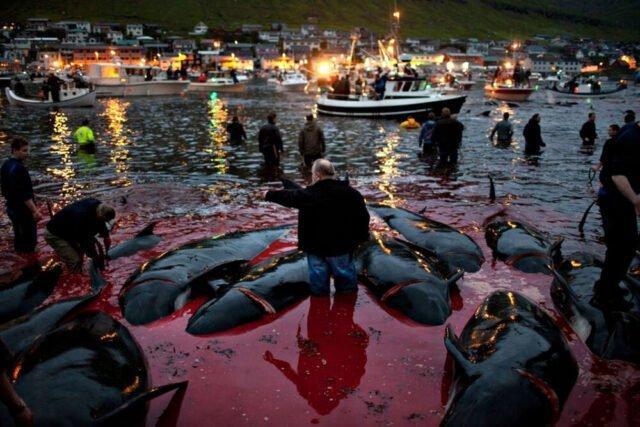 Grindadràp: il massacro di cetacei alle Isole Faroe continua